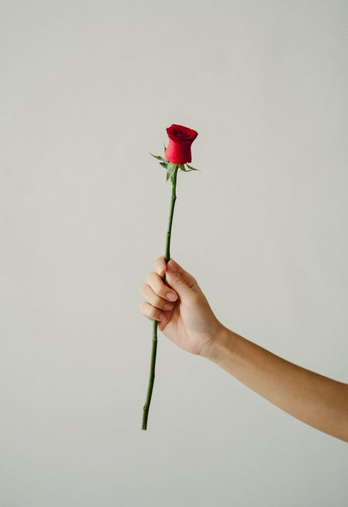 Person showing fresh red rose