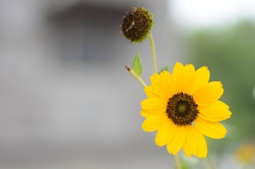 フロールアマレラ, 太阳花, 花 的 免费素材图片