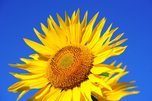 Blossoming images of sunflowers pexels free stock photos free stock photo of summer sun garden yellow mightylinksfo