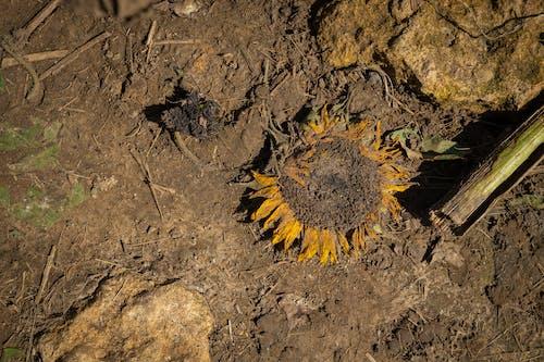 Yellow Dandelion on Brown Soil