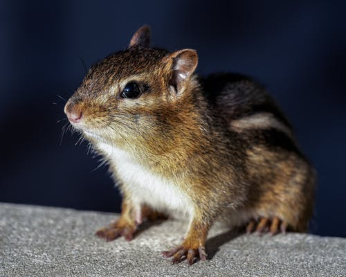 Brown and White Rodent on Gray Concrete Surface