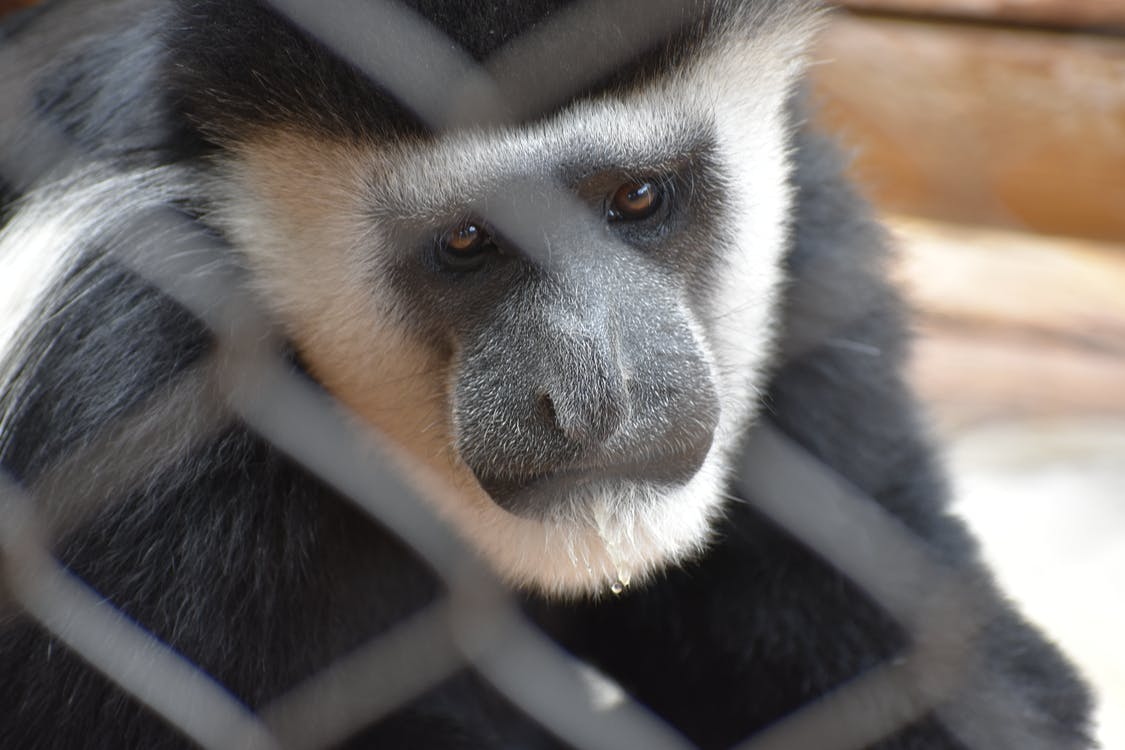 Selective Focus Photography of White and Black Monkey
