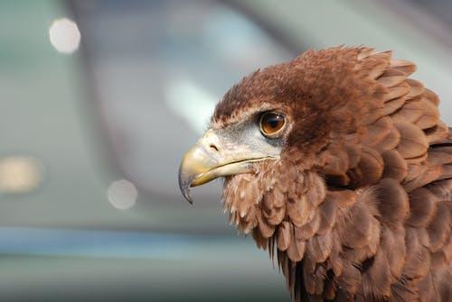 Foto profissional grátis de águia, Ave de rapina, close, macro