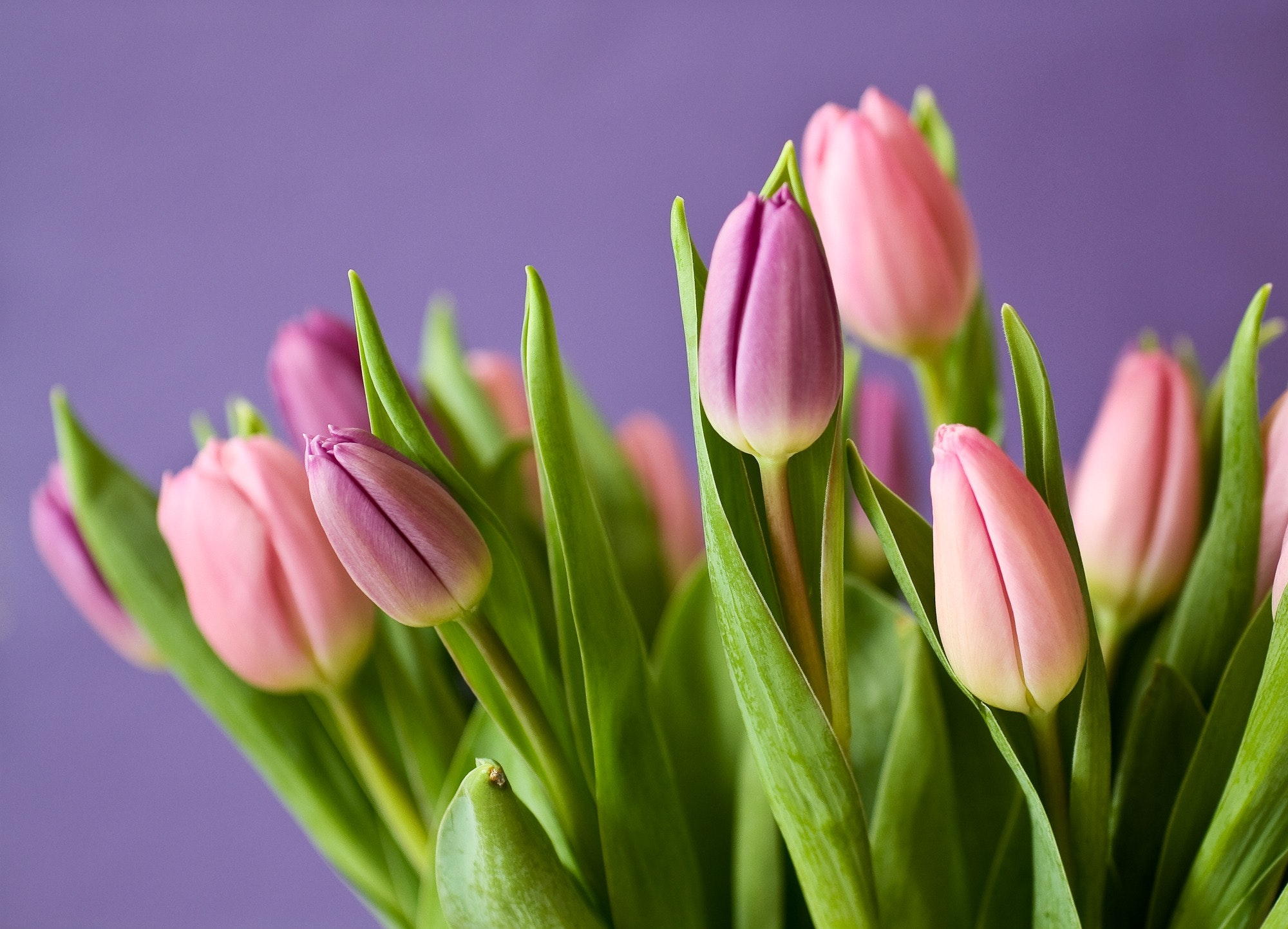 Pink Tulips Free Stock Photo