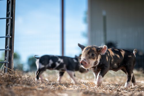 Cute spotted pig standing in countryside