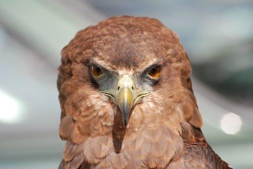 Immagine gratuita di animale, falco, macro, piumaggio