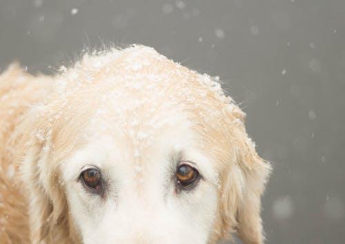 Бесплатное стоковое фото с глаз, животное, зима, золотистый ретривер
