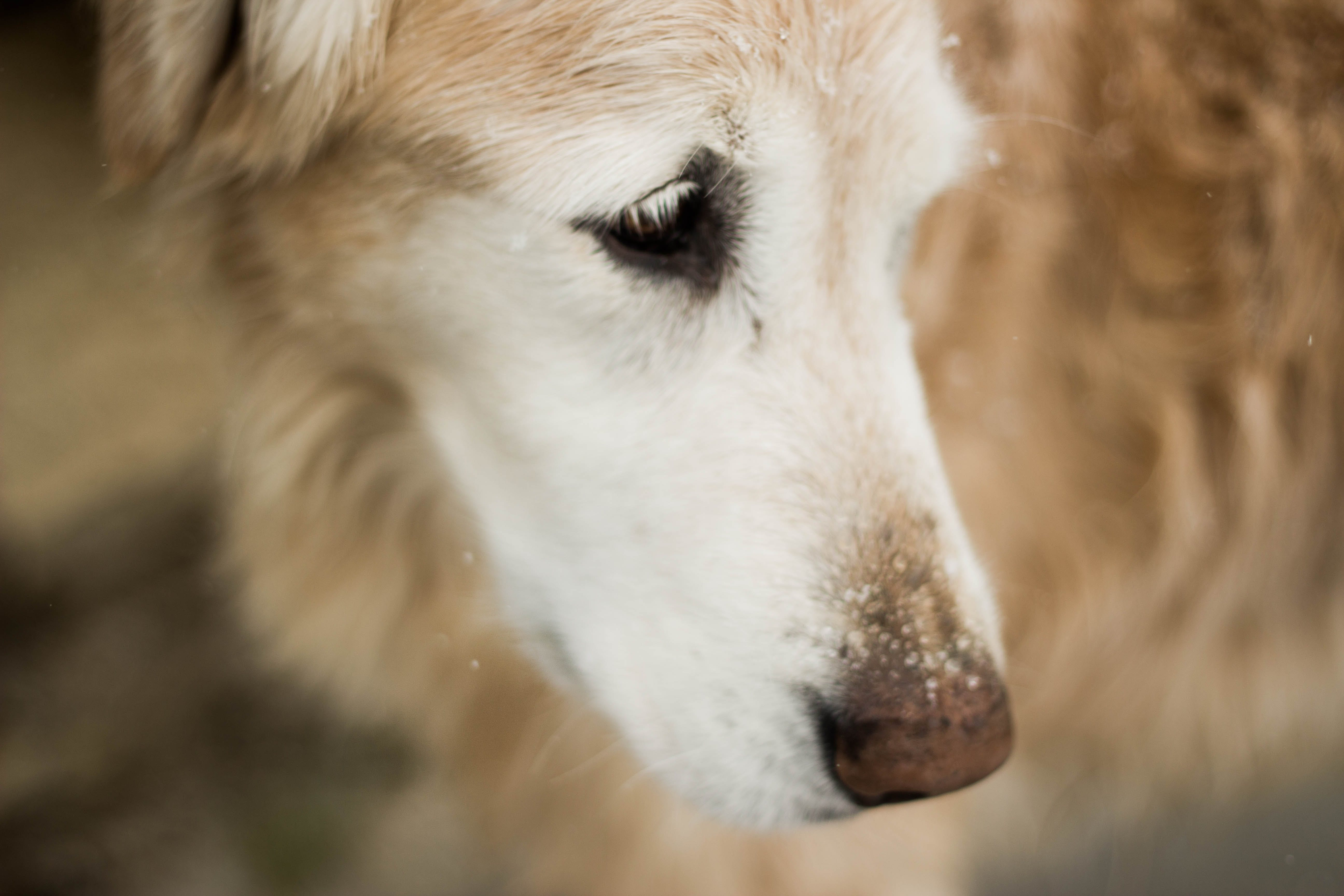 Selective Focus Photography of Golden Retriever