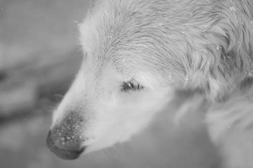 Fotobanka sbezplatnými fotkami na tému sneh, zlatý retriever
