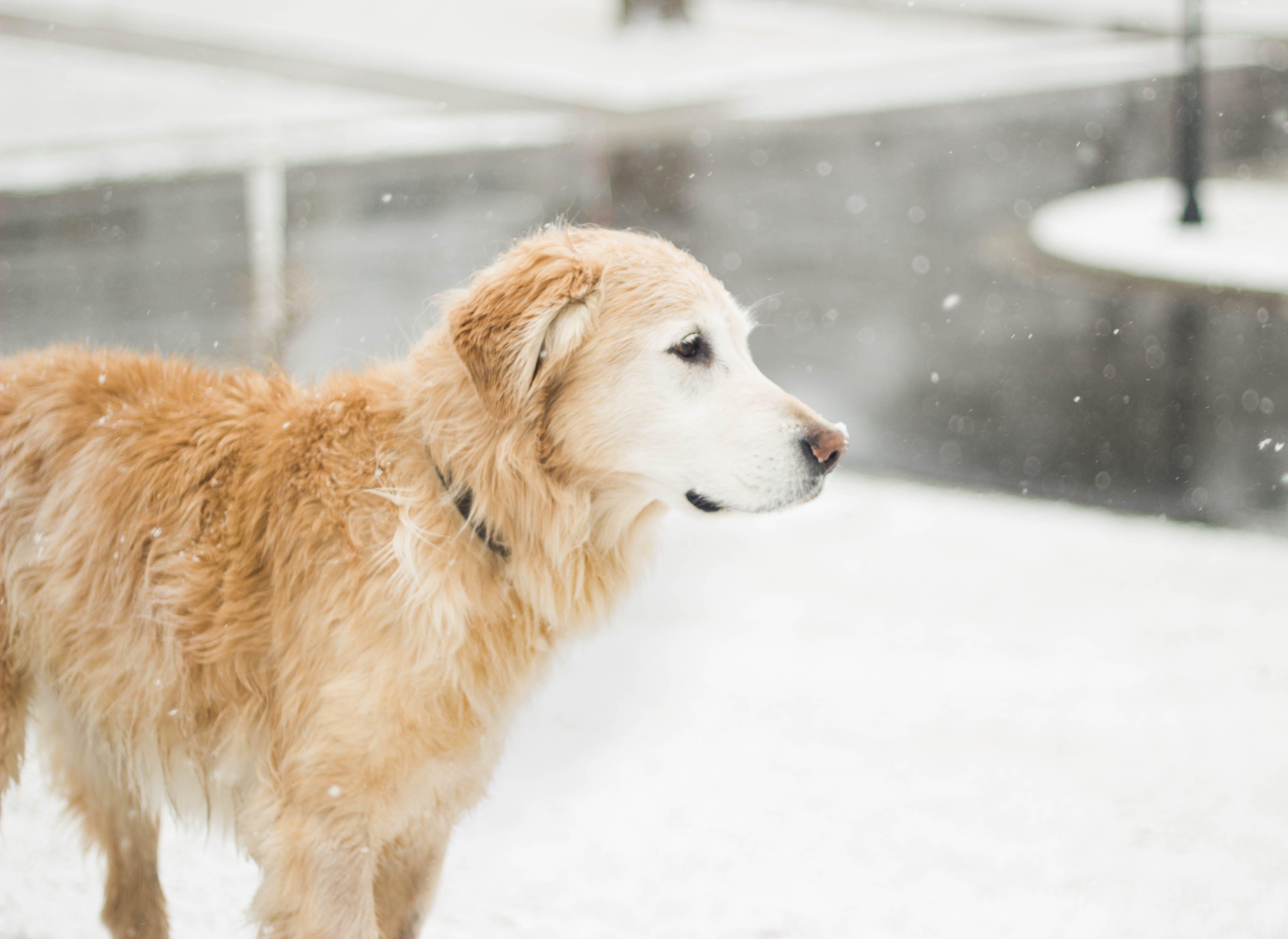 Kostenloses Stock Foto zu golden retriever, haustier, hund, kalt