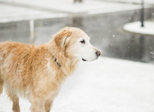 Fotos de stock gratuitas de animal, frío, golden retriever, invierno