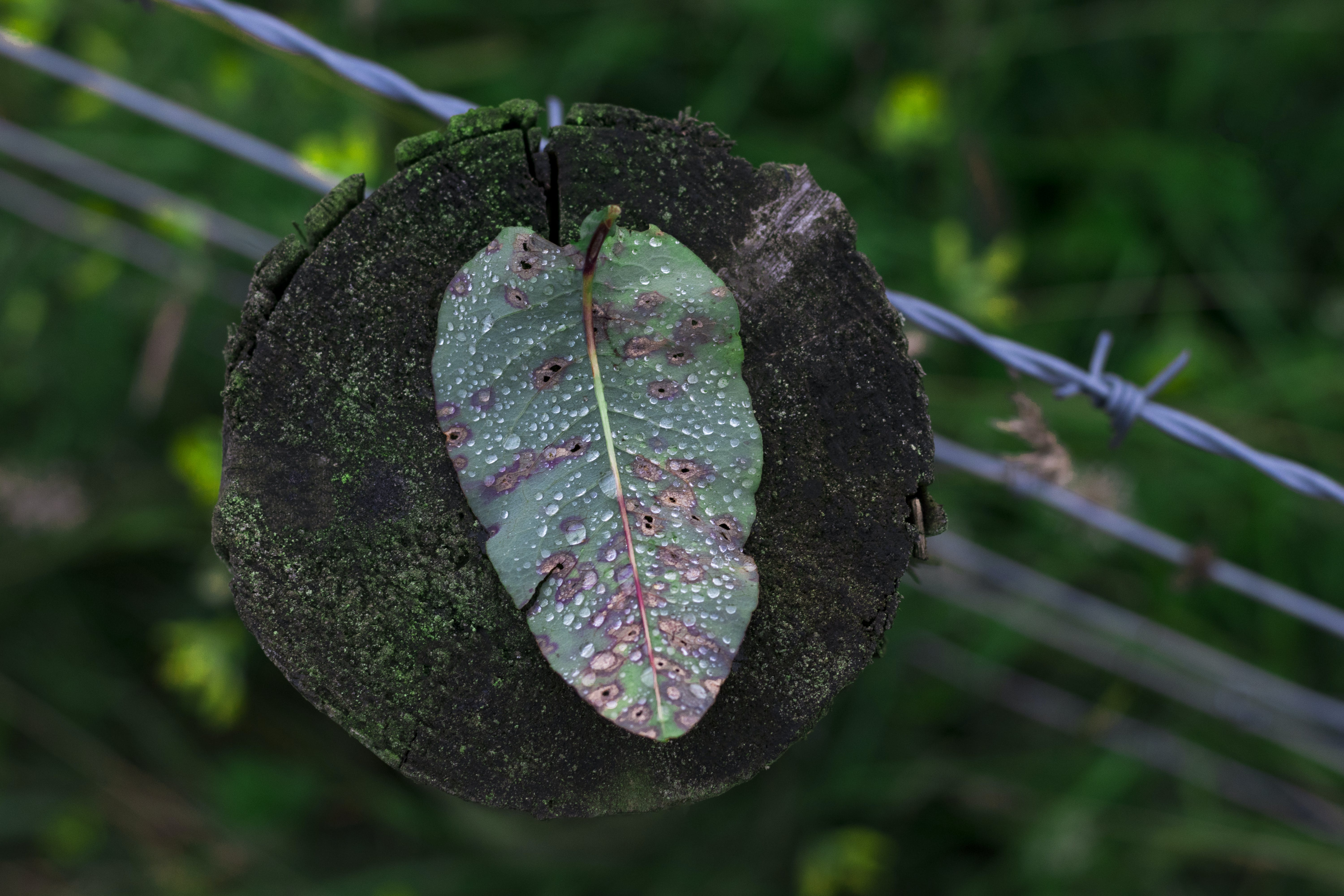 Free stock photo of autumn leaf, barb wires, country, droplet