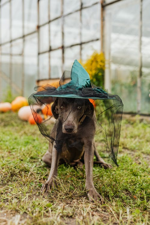 Dog Wearing a Witch Hat
