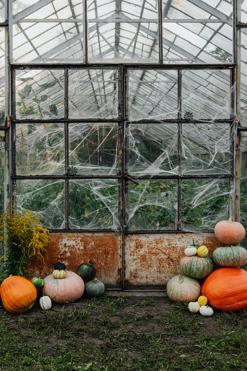 Pumpkins in Front of a Spider Web Covered Greenhouse