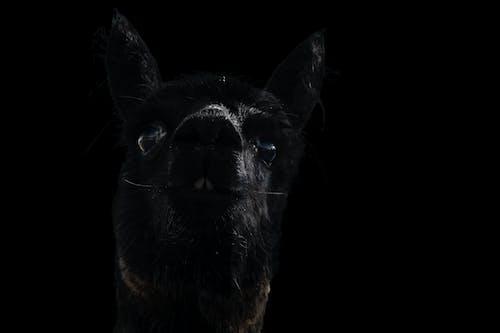 Free stock photo of alpaca, black alpaca, dark background