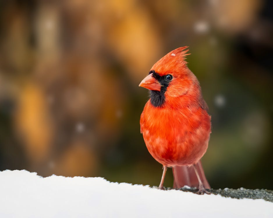 Curious bright red common cardinal bird standing on tree branch in snowy woodland during snowfall and looking at camera with interest