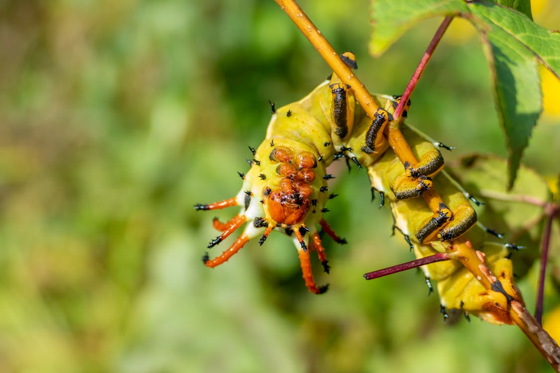 Yellow and Brown Caterpillar on Brown Stem