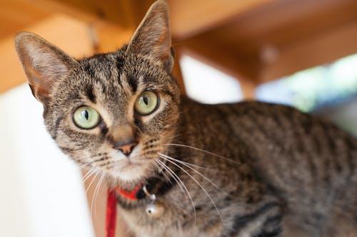 Free stock photo of tabby cat