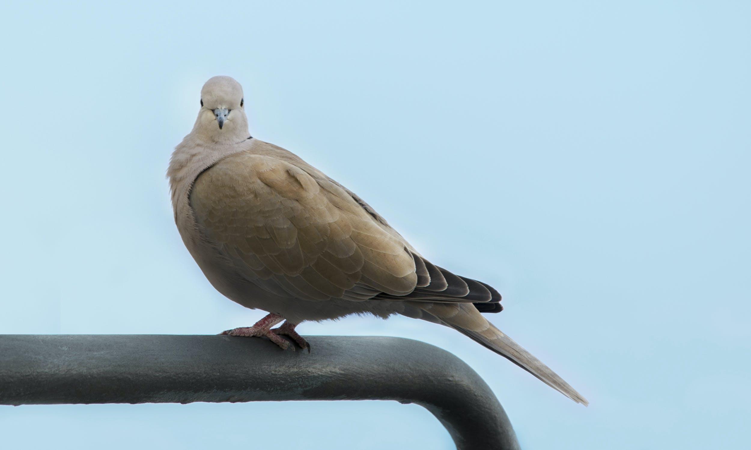 blue, pigeon