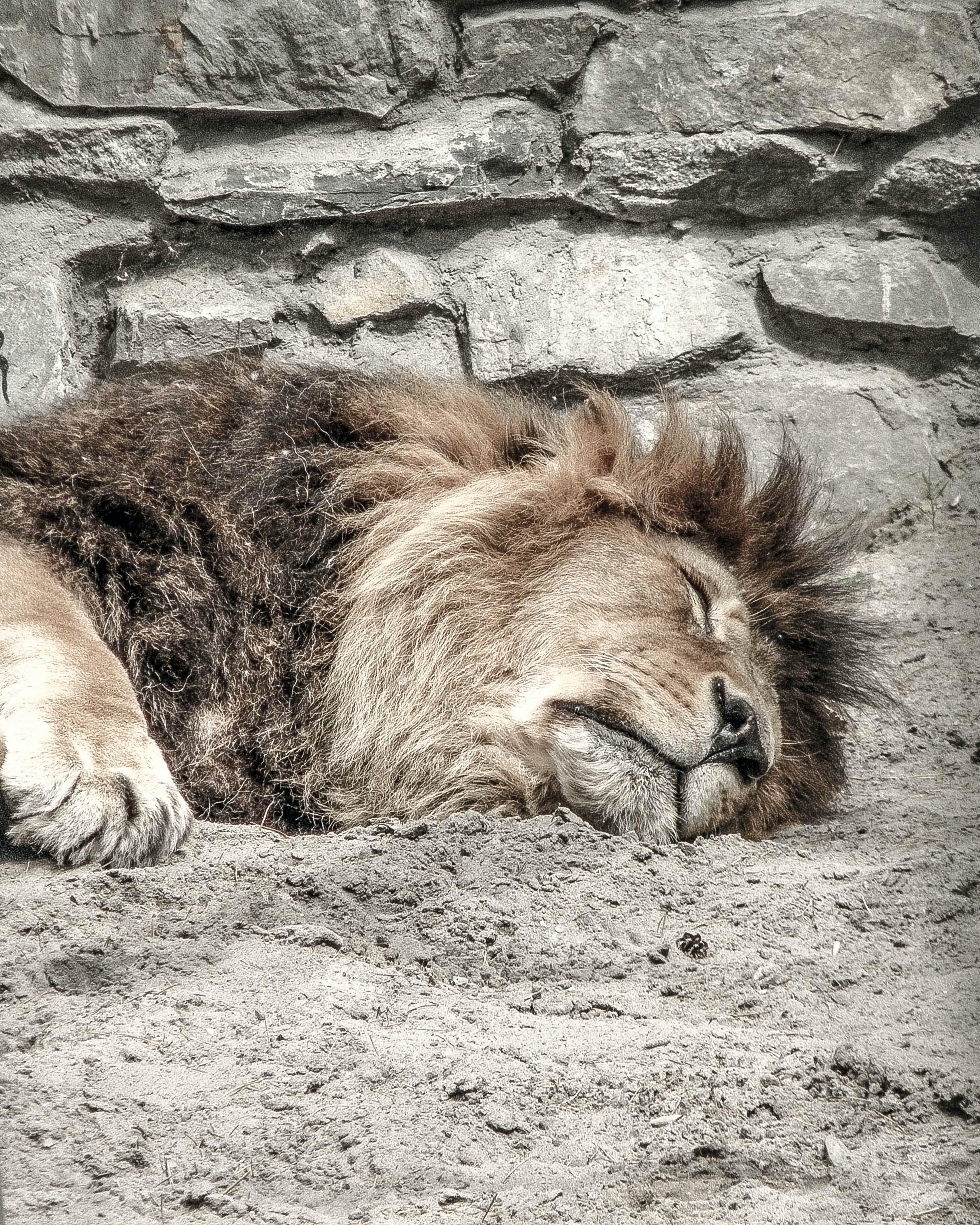 คลังภาพถ่ายฟรี ของ นอน, สวนสัตว์, สิงห์