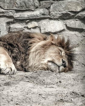 Free stock photo of zoo, sleep, Leo