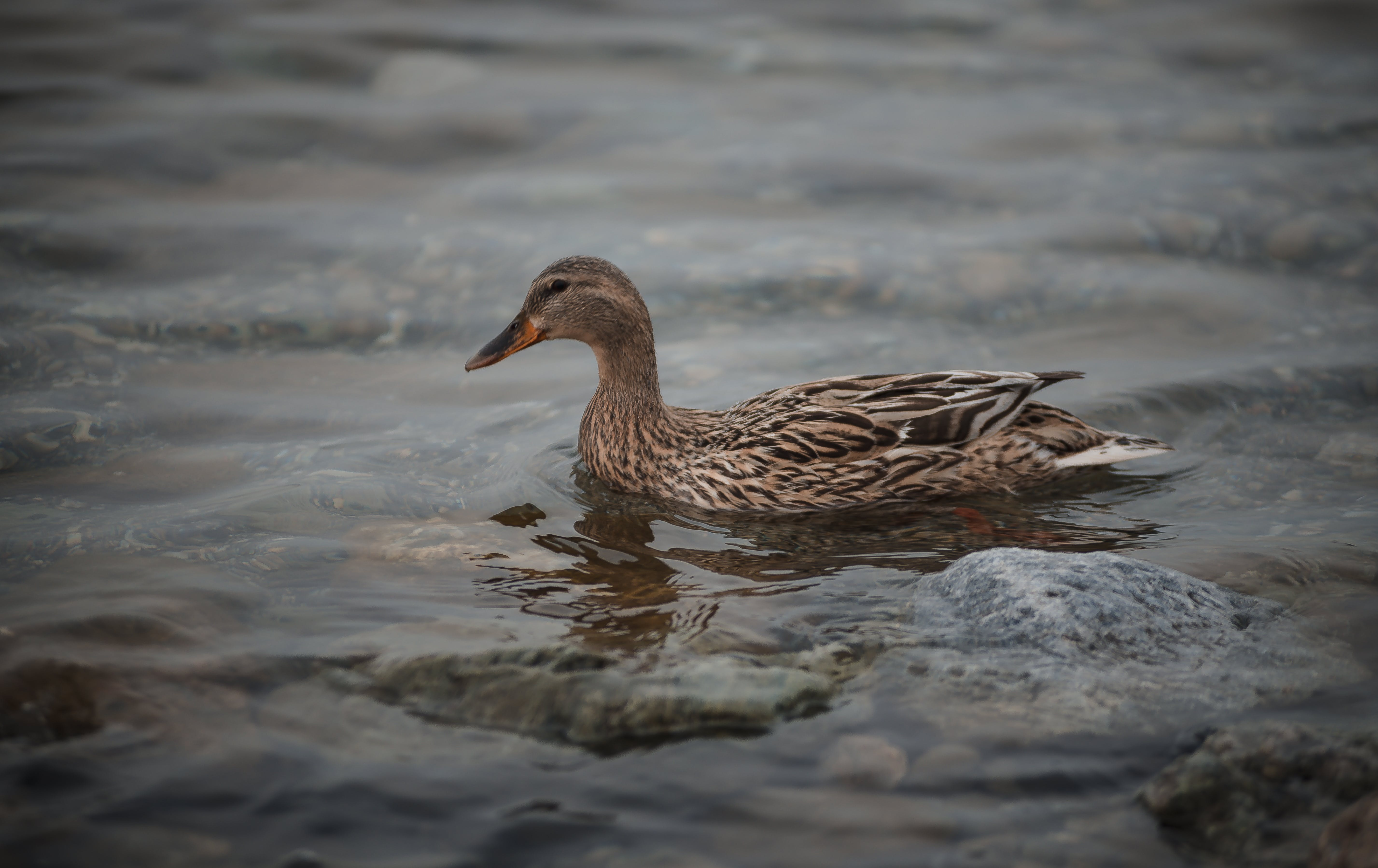 Brown Duck in Body of Water