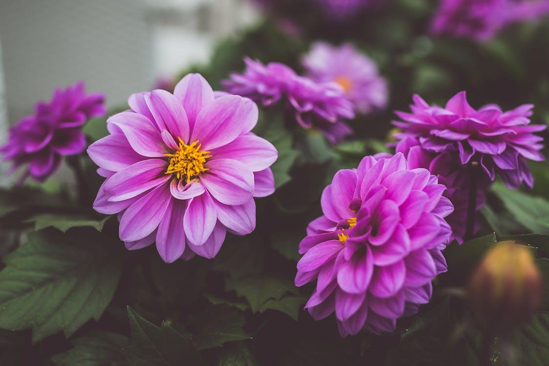 Close-up Photography of Purple Dahlia Flowers