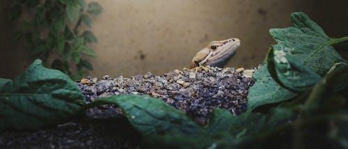 Free stock photo of animal, lizard, nature