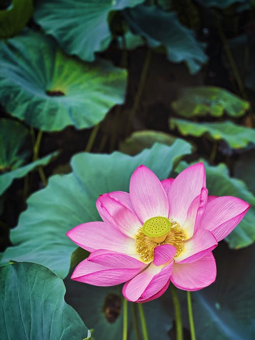 Pink Lotus Flower in Bloom
