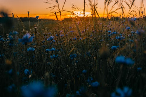 Imagine de stoc gratuită din apus, câmp, flori, flori sălbatice
