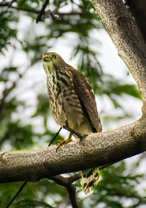 From below of wild besra sparrowhawk with bright yellow eyes sitting on branch of tree with green leaves in forest in daytime
