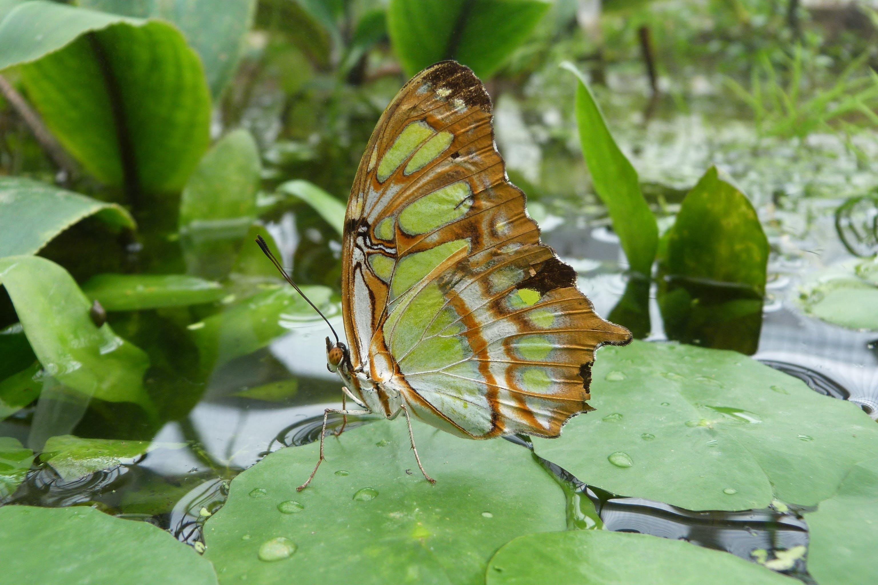 Brown and Green Butterfly on Green Lily Pad