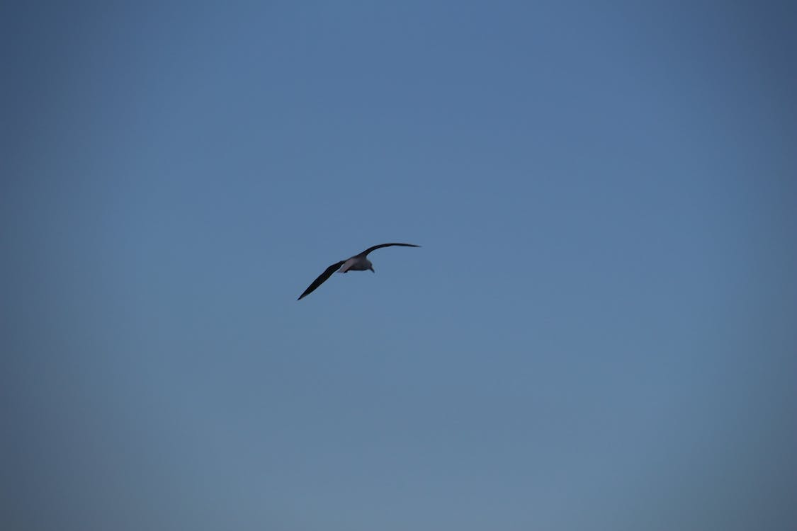 Free stock photo of Bird in Sky, One Bird