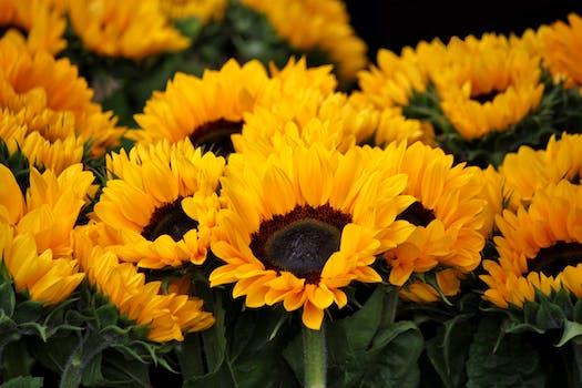 200 engaging sunflowers photos pexels free stock photos
