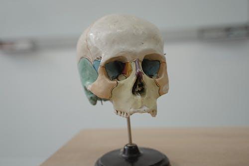 Miniature Skull Model