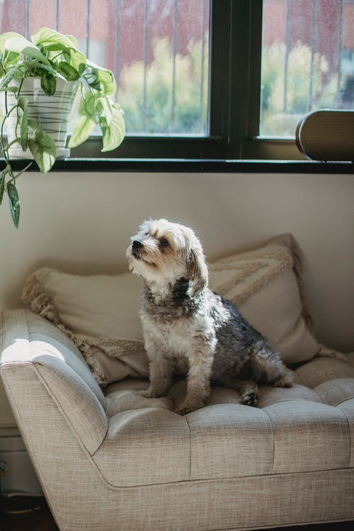 Adorable purebred puppy sitting on sofa in modern apartment