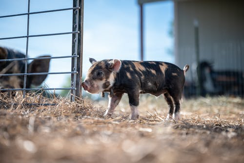 Small pig standing near paddock