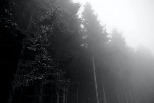 Free stock photo of black and white, dark, forest