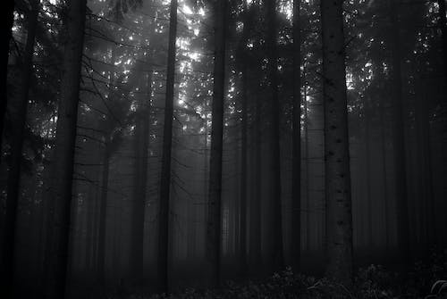 Free stock photo of black and white, black forest, dark