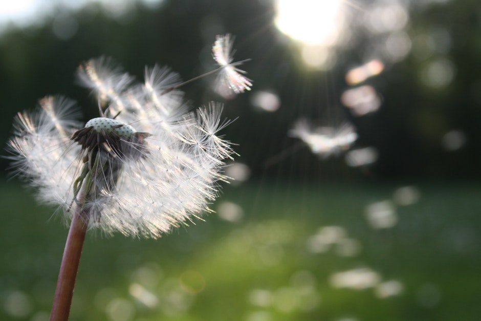 blowball, dandelion, dandelion seed
