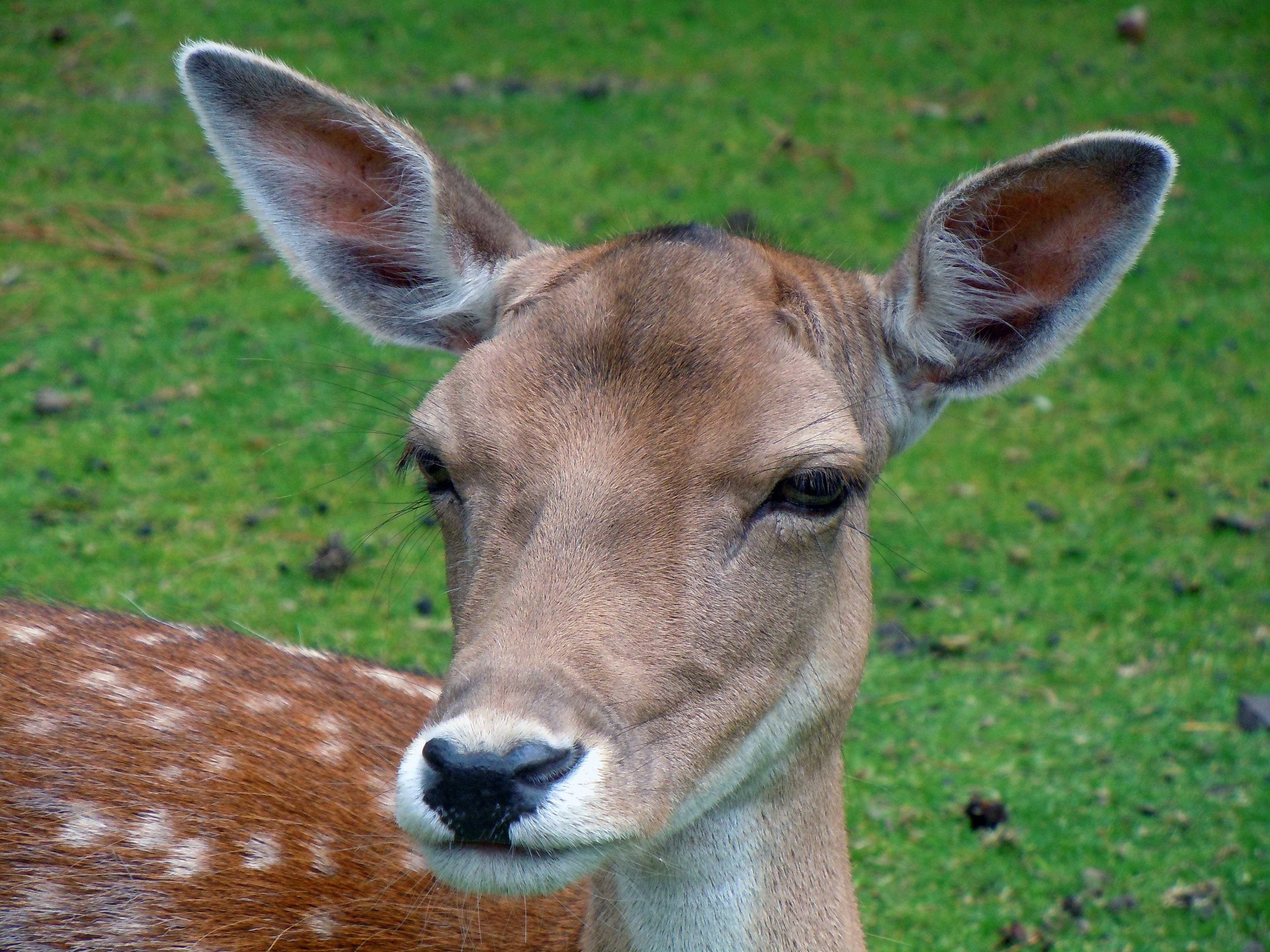 Brown Deer on Grass Field