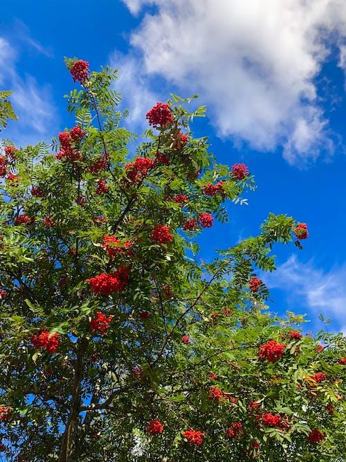 Free stock photo of red berries, red rowan, red rowans