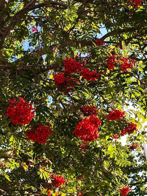 Free stock photo of red berries, red berry, rowan