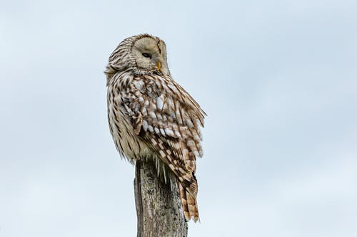 Brown Owl Perched on Brown Wood