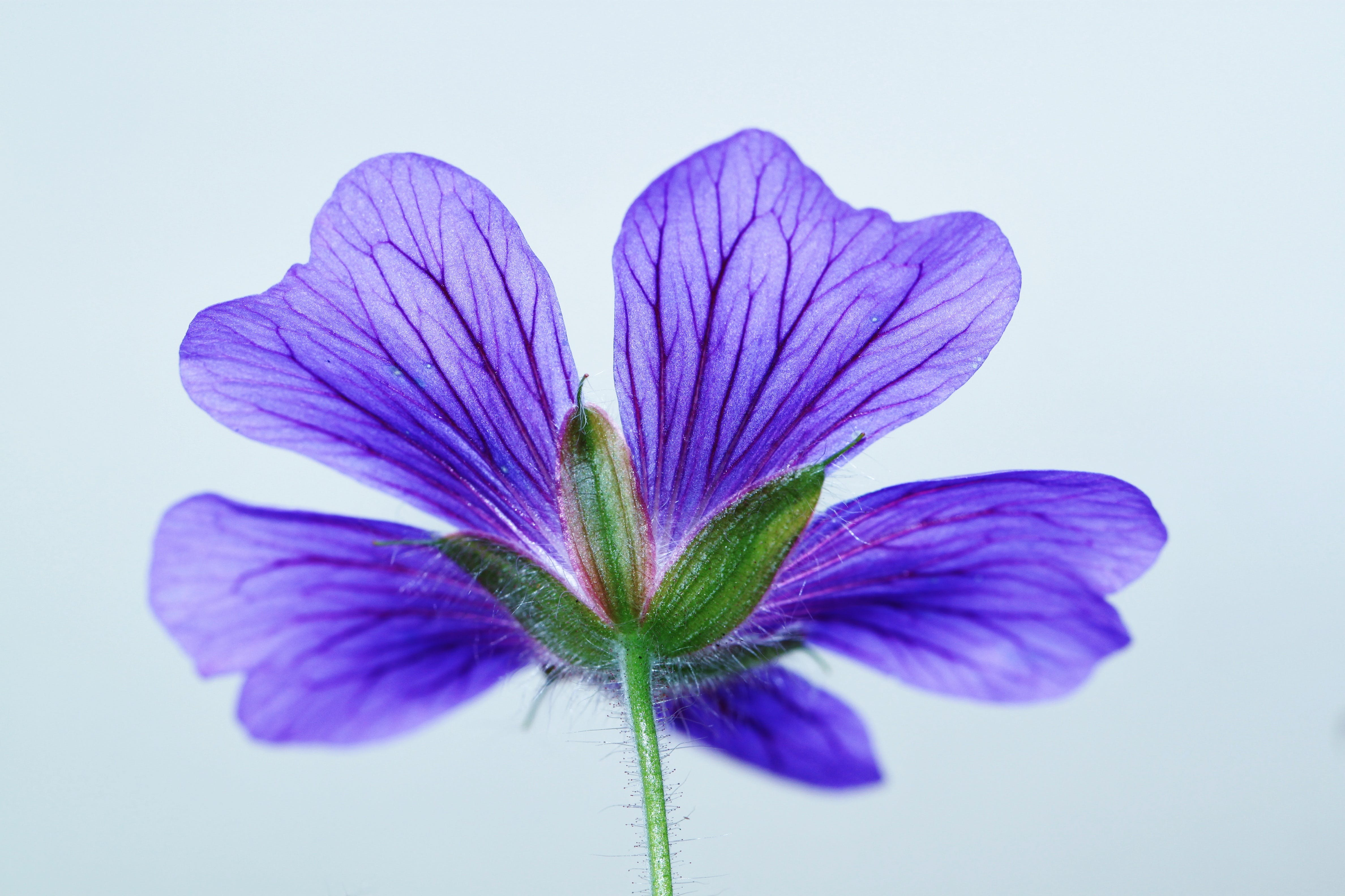 Green and 5 Petaled Purple Flower