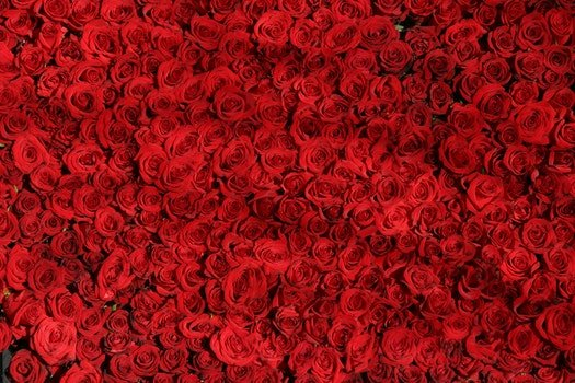 Free stock photo of red, love, romantic, flowers