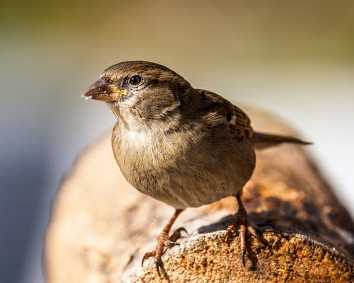 Full length cute brown wild sparrow standing on dry trunk on blurred nature background and looking at camera attentively