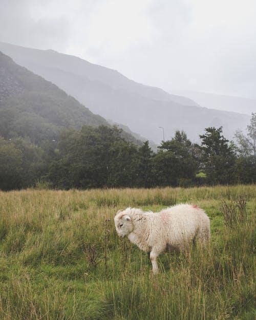 Ilmainen kuvapankkikuva tunnisteilla eläimet, heinäpelto, kenttä, laidun