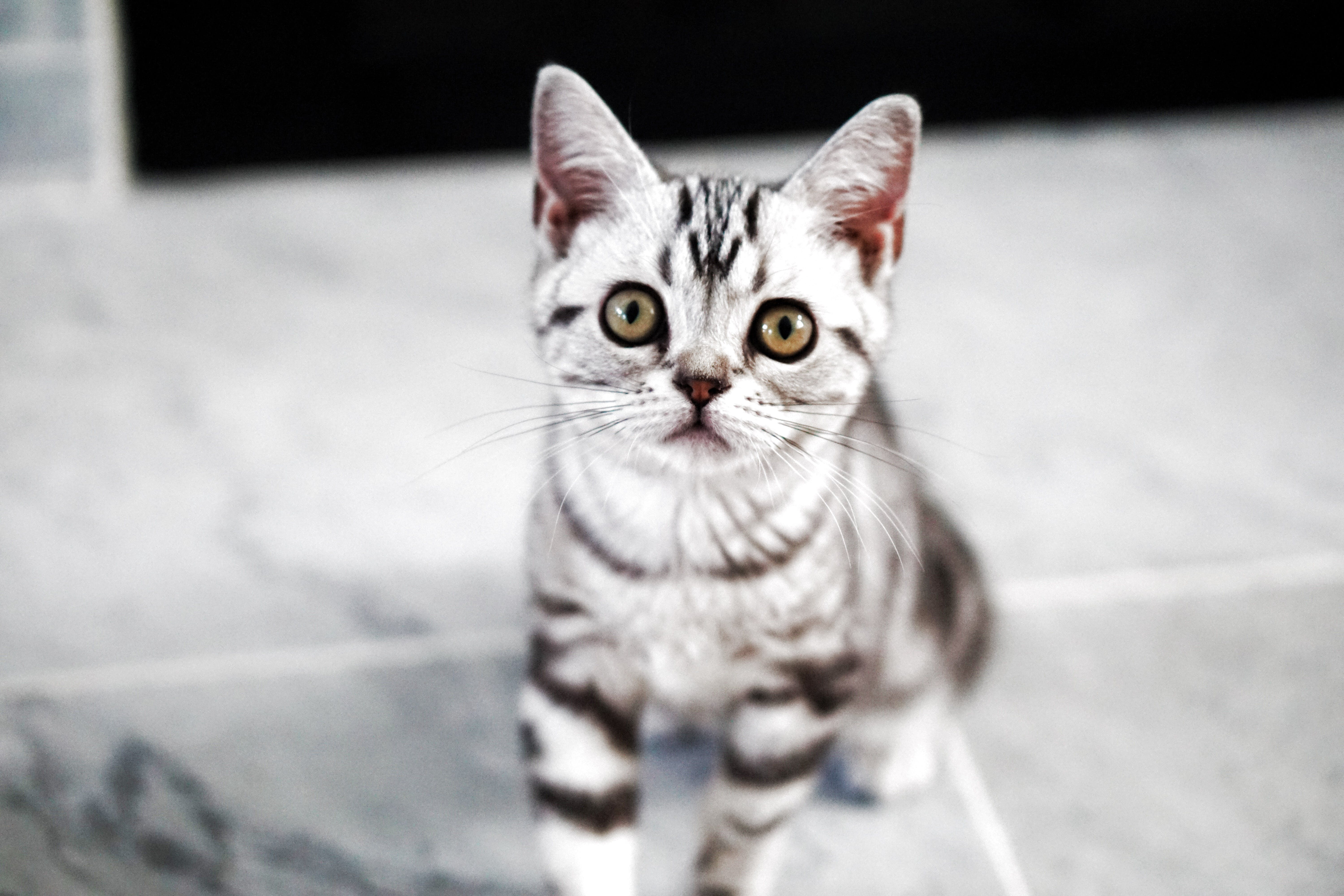 Free stock photo of american, animals, black and white, cat