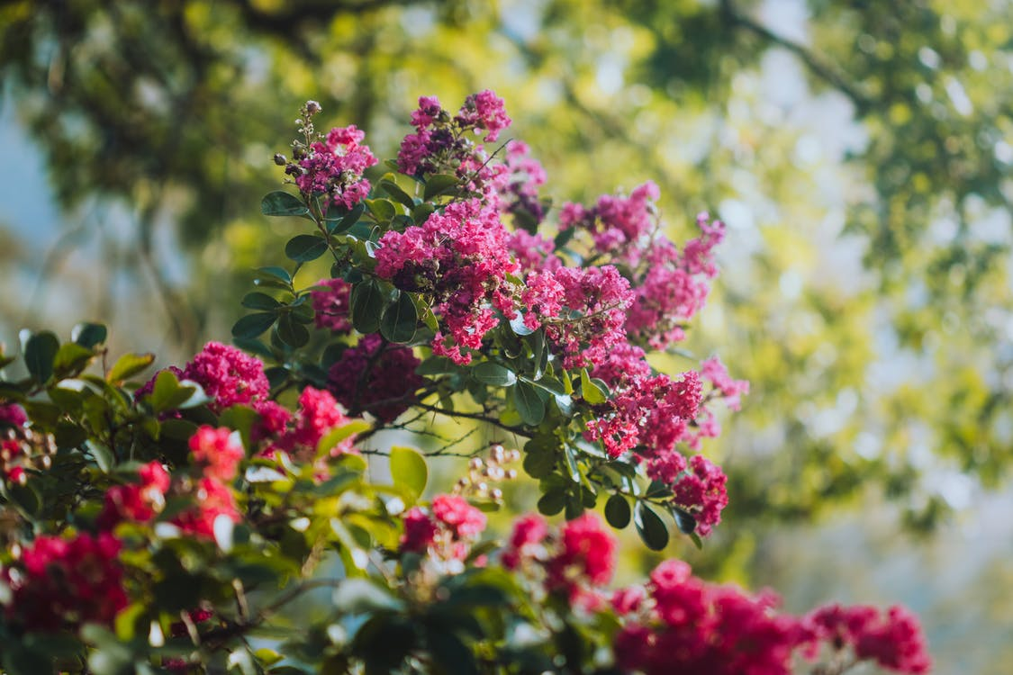 Bright pink flowers of Lagerstroemia indica shrub growing on nature in sunny day